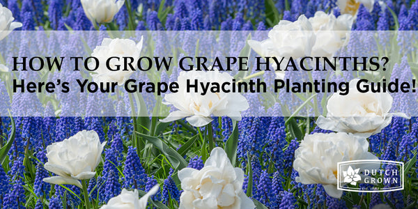 How to Grow Grape Hyacinths?