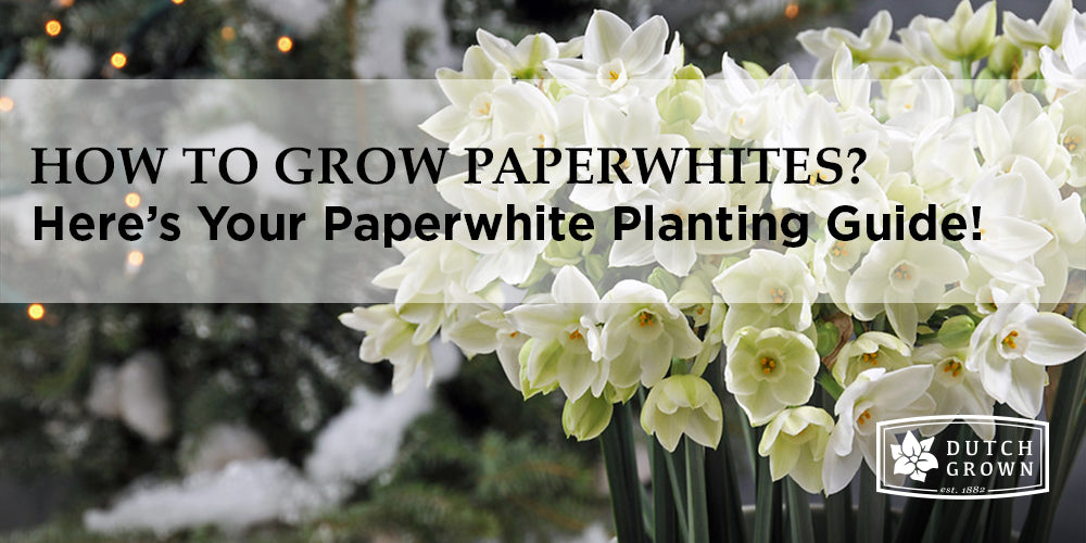 How to Grow Paperwhites?