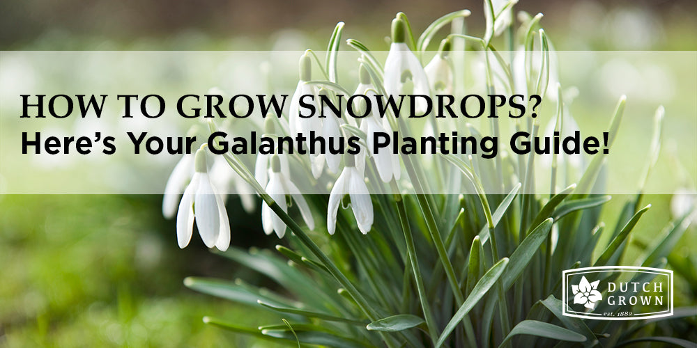 How to Grow Snowdrops?