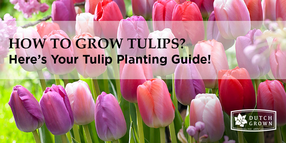 How to Grow Tulips?