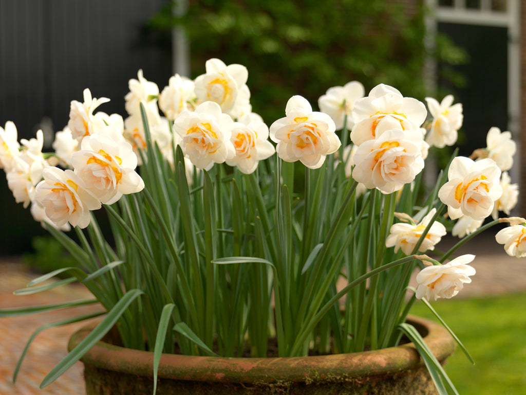 How to Grow Daffodils in Pots or Containers?