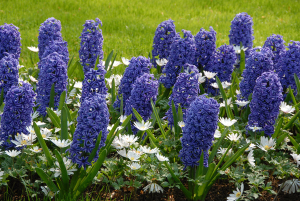 Hyacinths: Beautiful, Festive and Fragrant