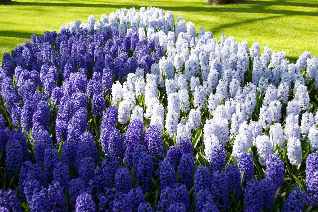 What to Do With Hyacinth Bulbs After Flowering