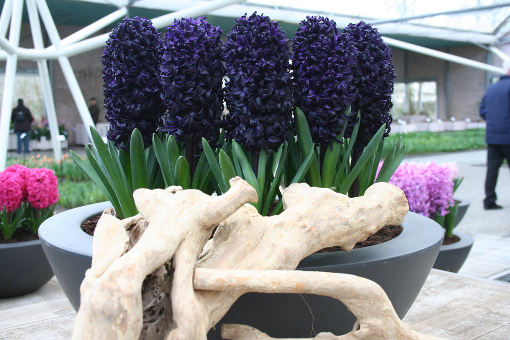 When To Plant Hyacinth Bulbs