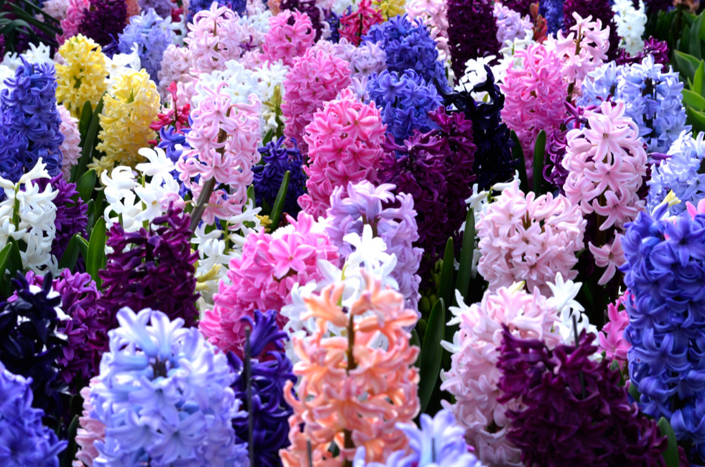 How to Care for Hyacinths?