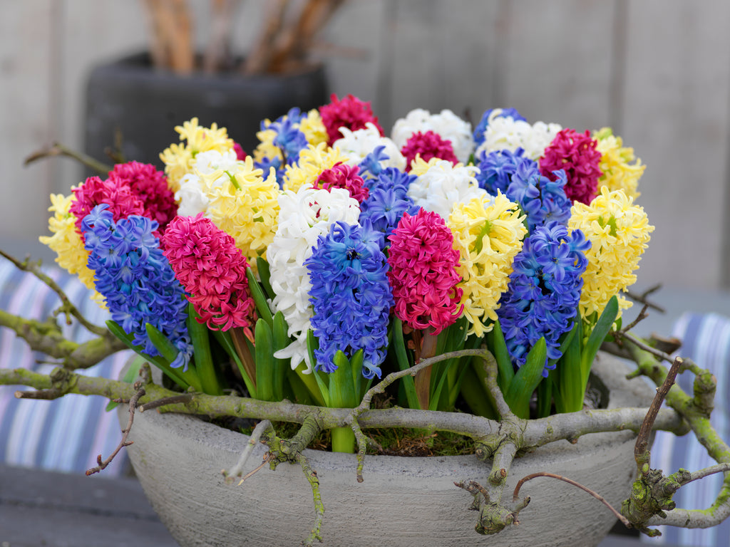 How to Plant Hyacinth Bulbs?