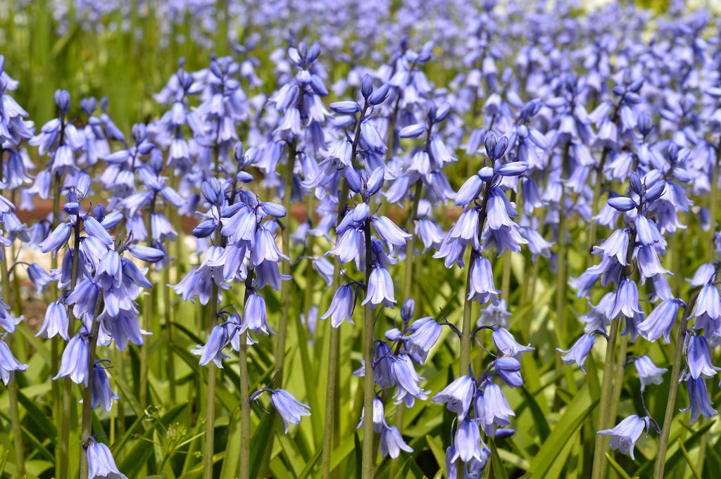 Spanish Bluebells – The Easy Beauties