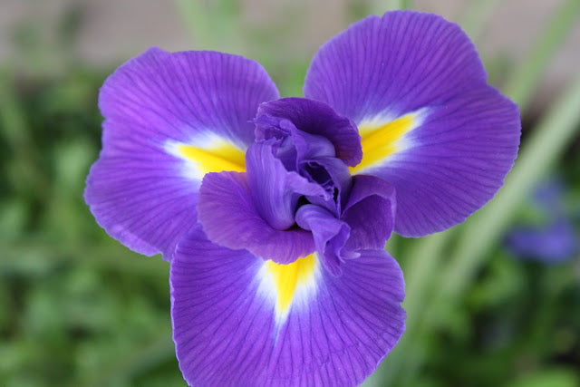How to Divide Irises?
