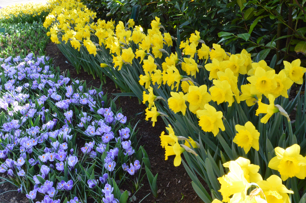 Flower Bulbs for Shade: Light Up Your Garden with Spring Color