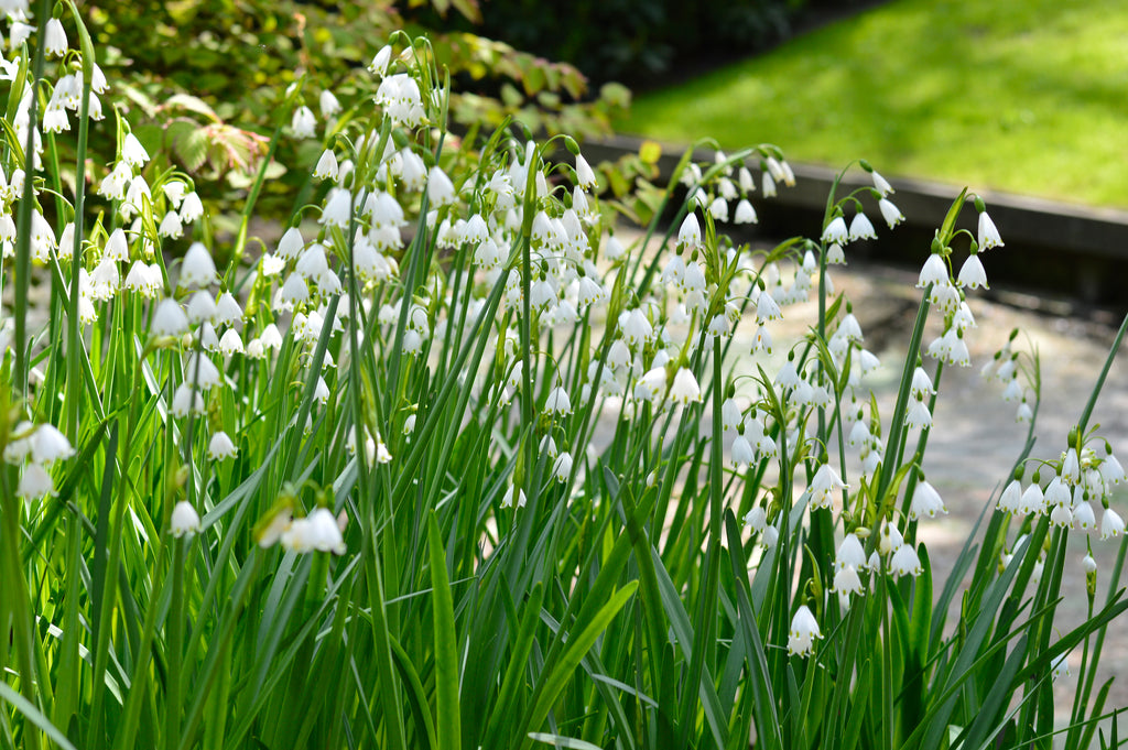 Leucojum – The Gentle Giant (Snowflake)