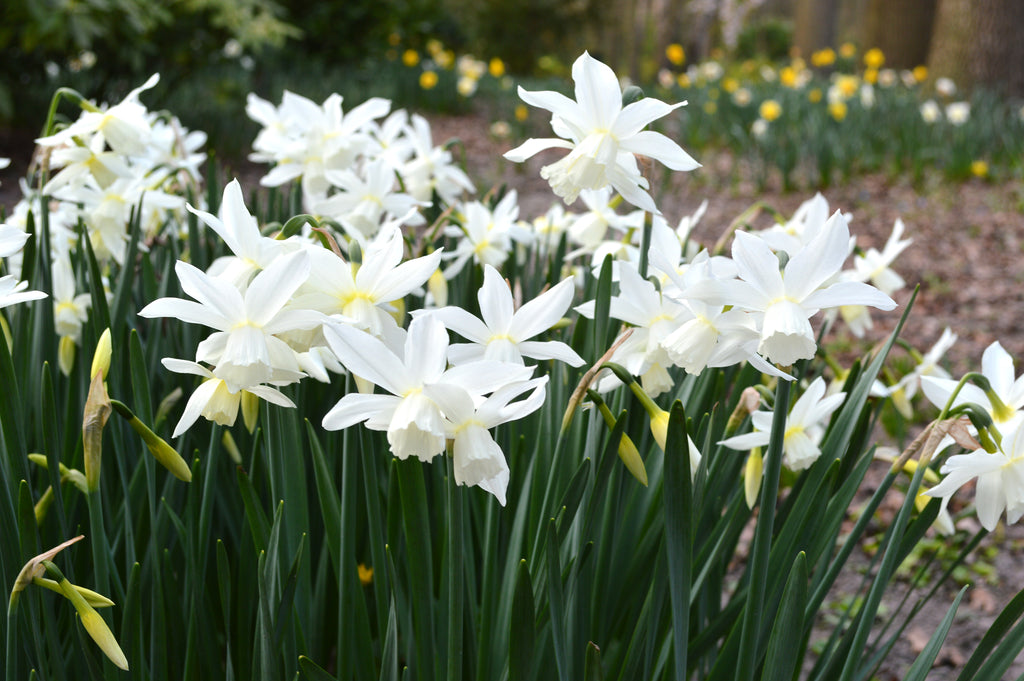 "Mini Daffodil ""Thalia"": Pure White Fragrant Spring Blooms"