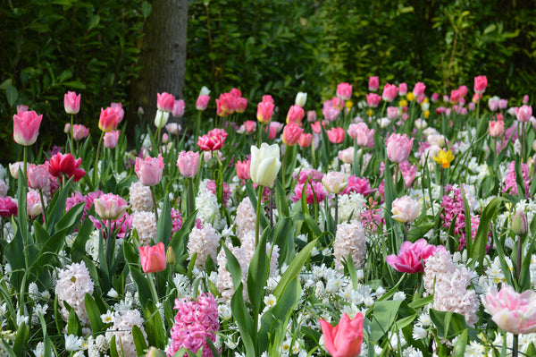 Planting a Succession of Spring Flowering Bulbs