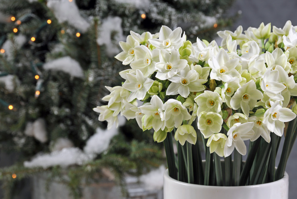 Growing Bulbs Indoors For Christmas