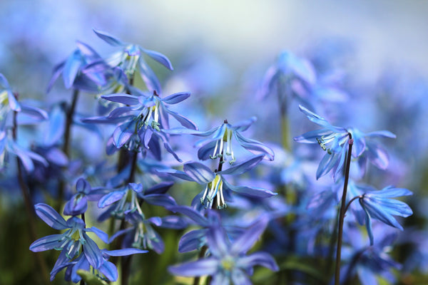 Scilla Siberica – The Hardy Naturalizer