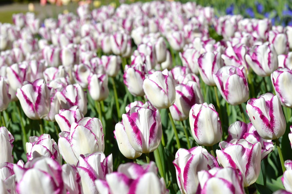 Best Time To Plant Flower Bulbs