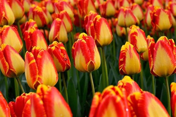 Variety Spotlight Series: Giant Darwin Tulips