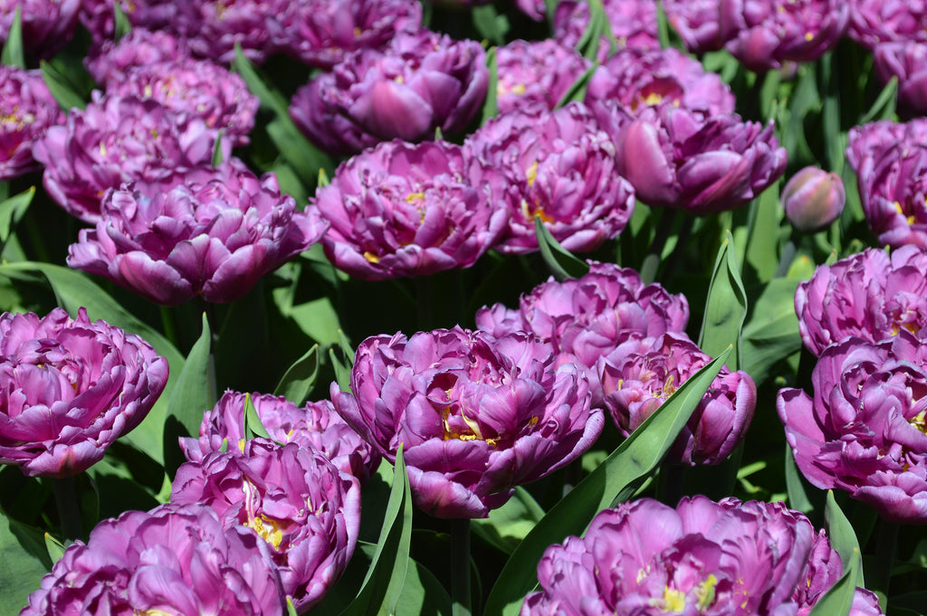 Blue Tulips – Yes, They Are Real!
