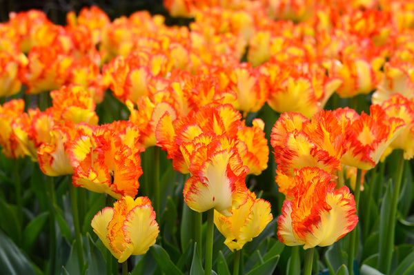 Featured Variety: Parrot Tulips