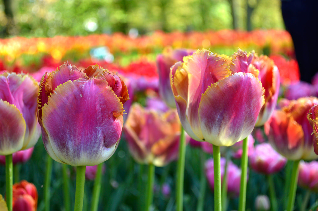 The Best Place To Buy Tulip Bulbs