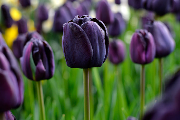 Using Black Flowering Bulbs Effectively