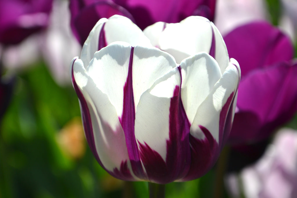 Frequently Asked Questions About Flower Bulbs (1)
