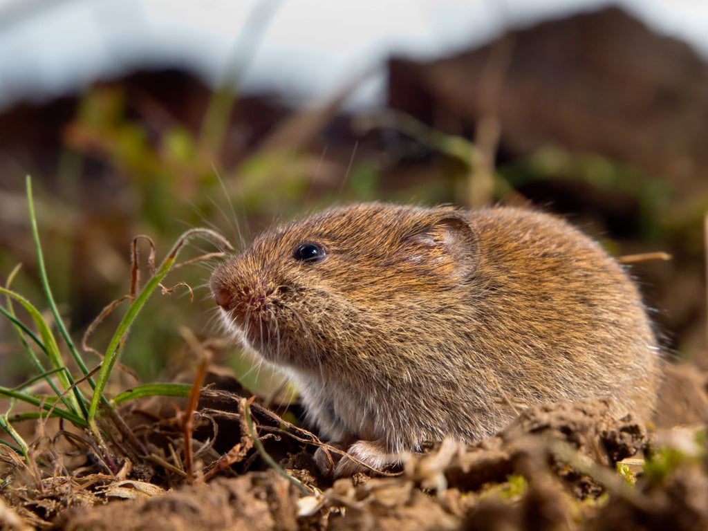 Protecting Flower Bulbs from Voles