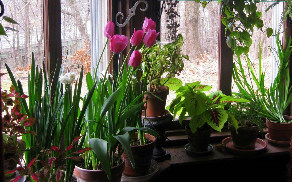 How to Grow Tulips Indoors?