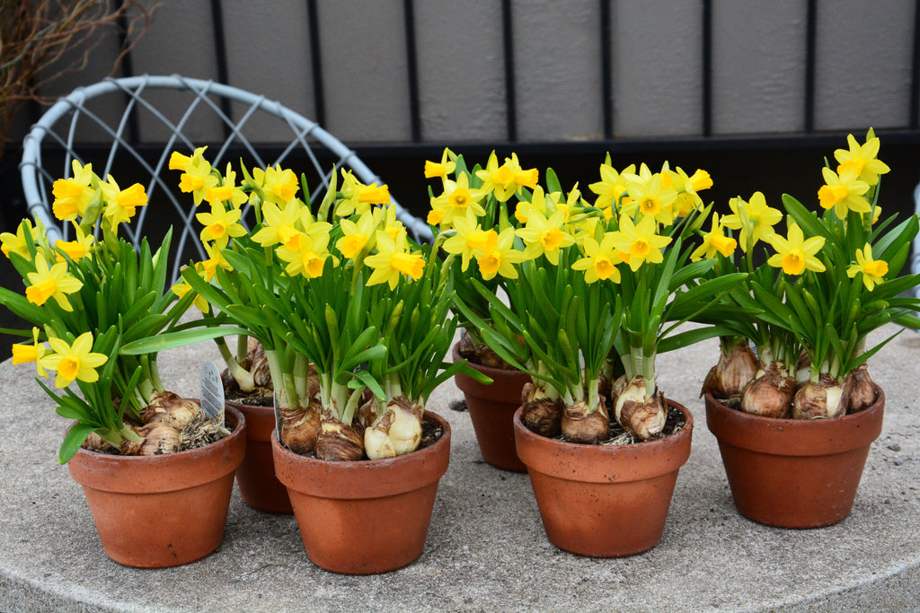 How to plant Daffodils in Pots for an Eye Catching Spring Display