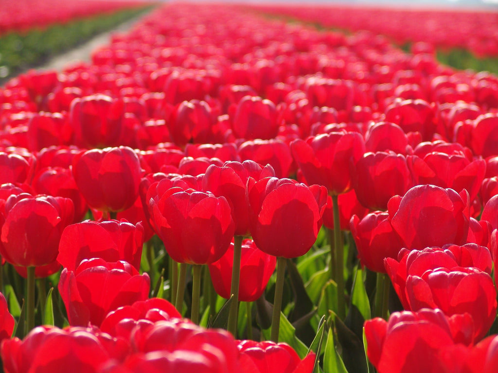 How Long Do Tulips Bloom?