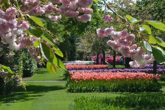 Tulips In Hot Climates: Is It Possible?