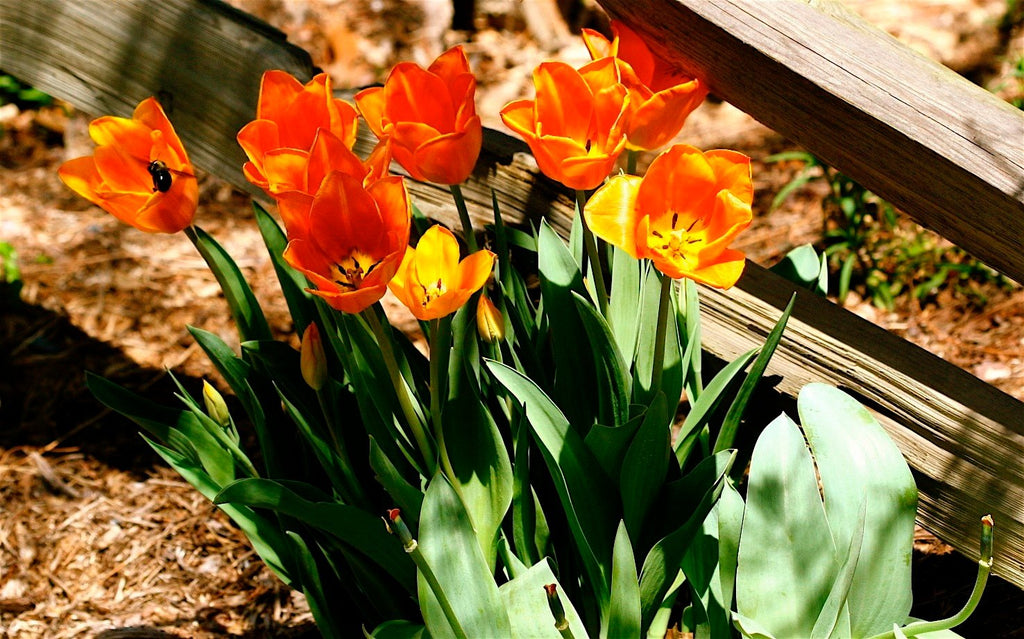 Bulbs to Plant in the Fall