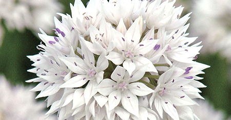 Allium Graceful Beauty