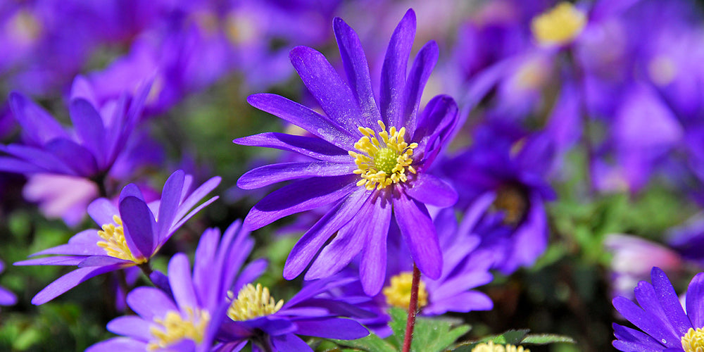 How To Grow Anemones? How to plant, grow and take care on anemone bulbs