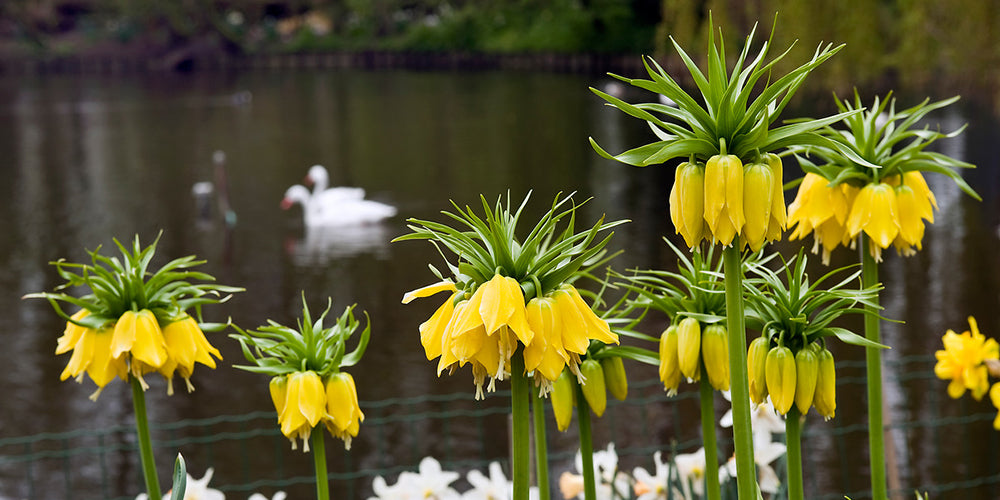 How to Grow Fritillaria - Fritillaria Lutea Yellow