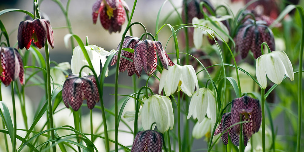 How to Grow Fritillaria - Fritillaria Meleagris
