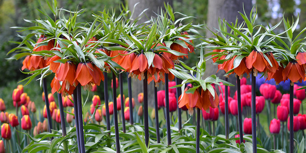 How to Grow Fritillaria - Fritillaria Rubra Red