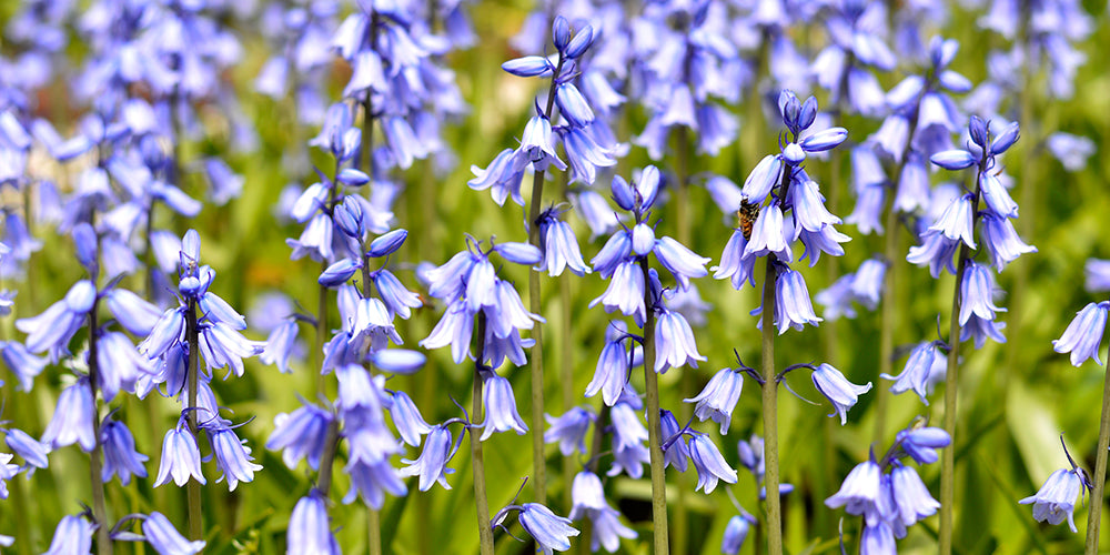 How To Grow Spanish Bluebells?