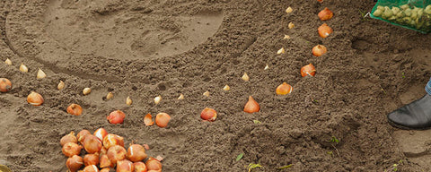 Planting Flower Bulbs