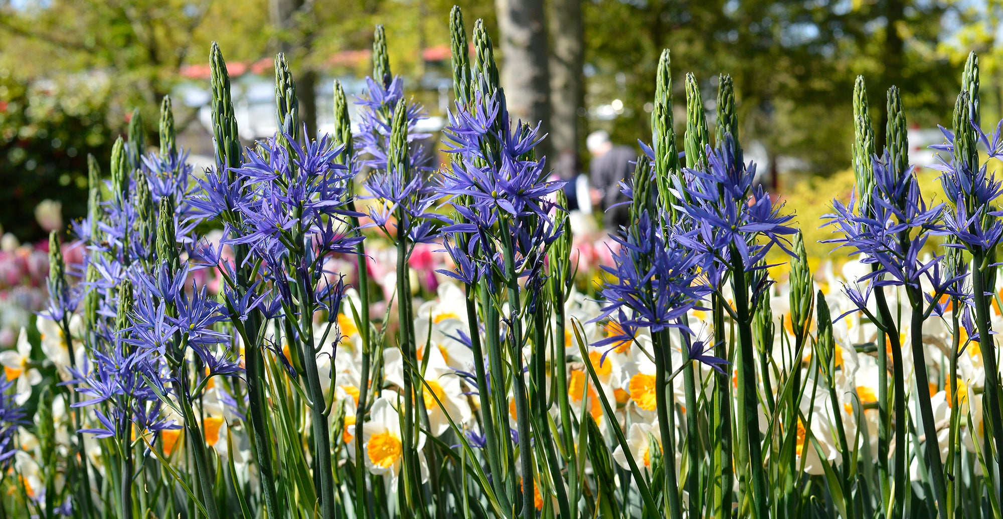 How to grow camas lilies - planting guide