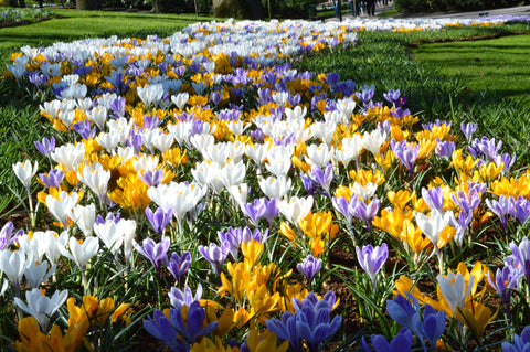 Jumbo Crocus Mixed