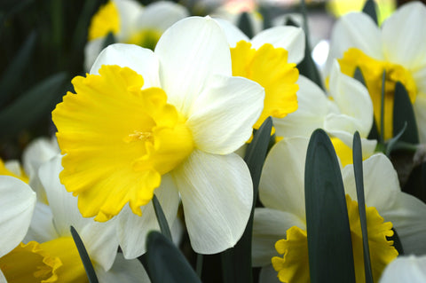 Daffodil Attraction