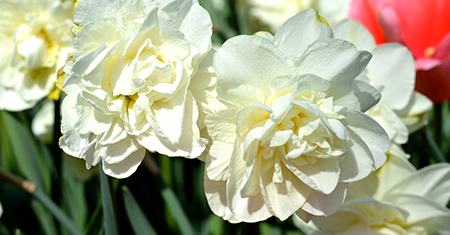 Daffodil White Explosion
