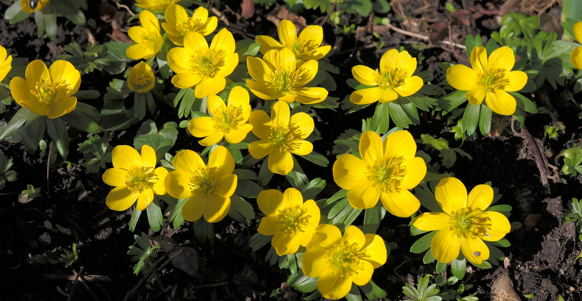 How to grow eranthis - winter aconite?