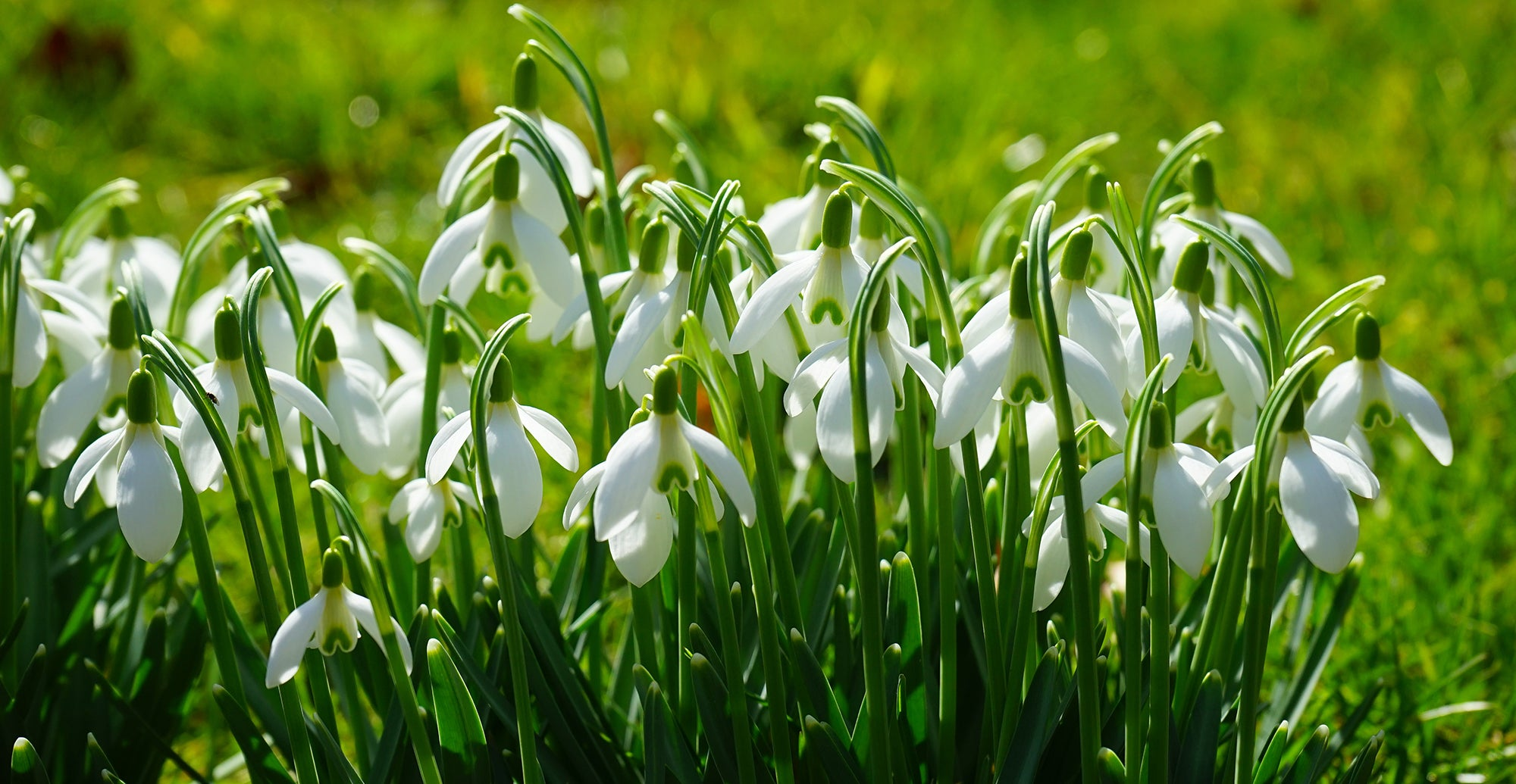 How to grow Snowdrops - Planting Guide
