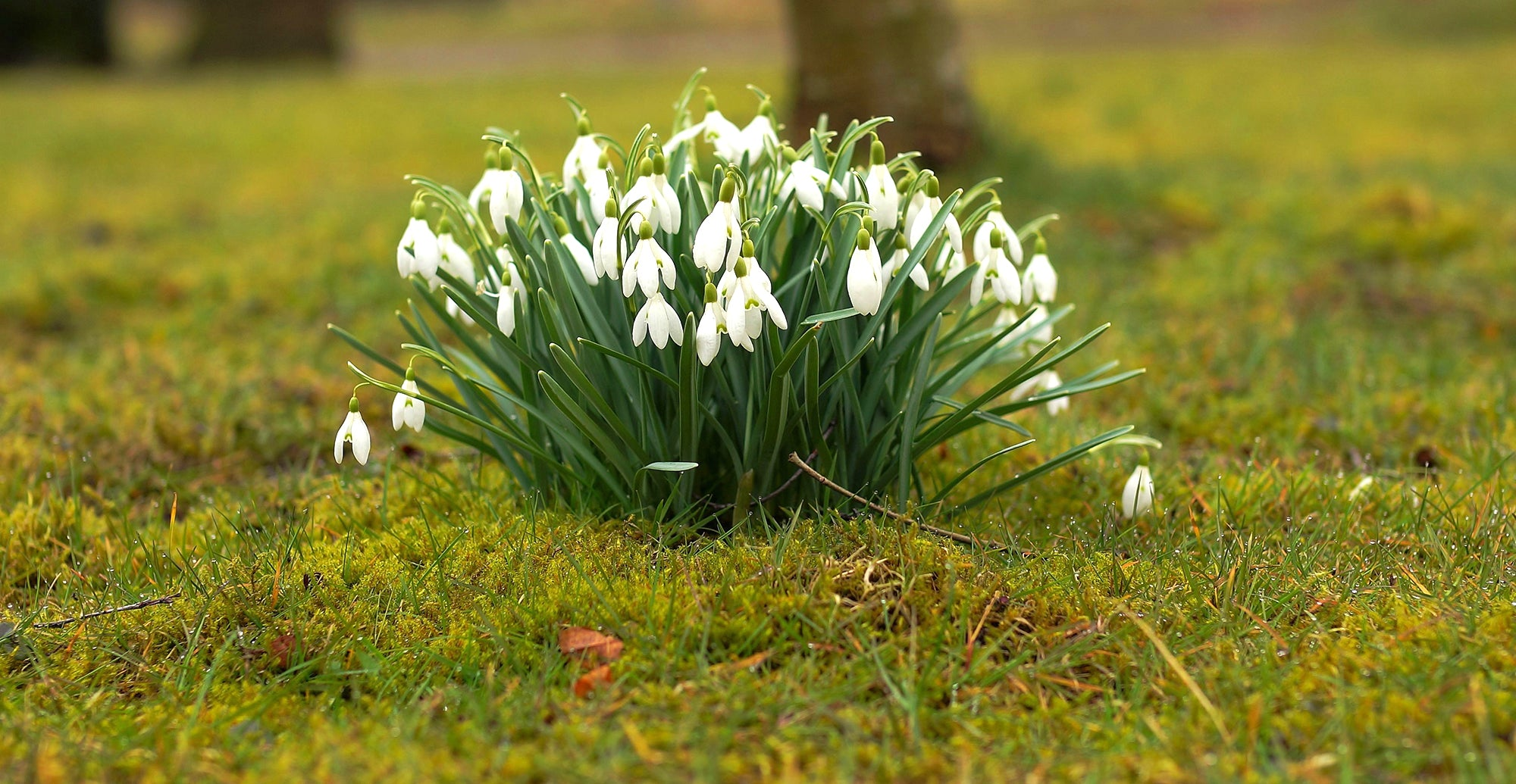 How to grow snowdrops also know as Galanthus