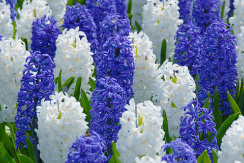 Hyacinth Blue and White