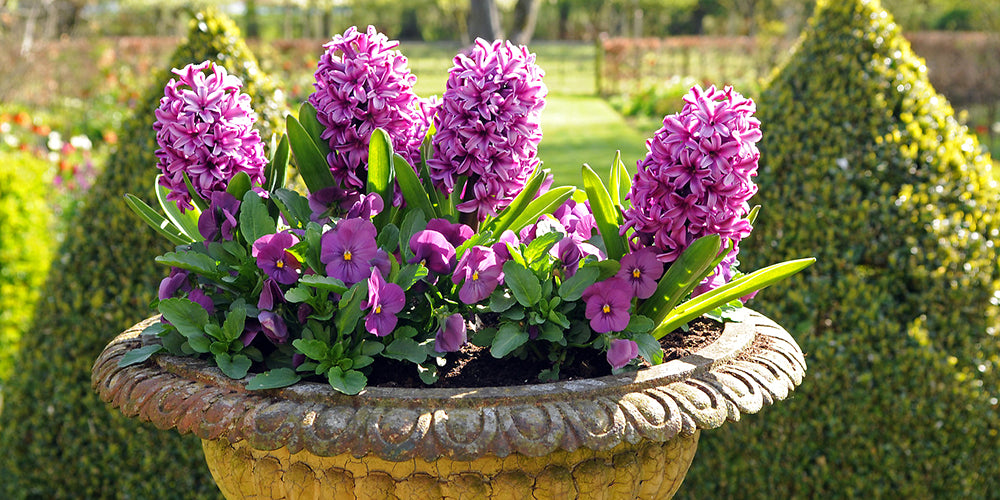 How To Plant Hyacinths in Pots or Containers