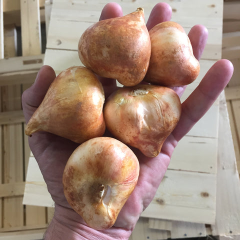 Jumbo Top Sized Quality Flower Bulbs