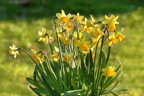 Mini Daffodil Tete a Tete Yellow