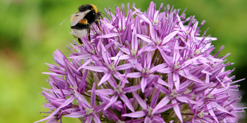 How to Grow Allium Bulbs in Pots or Containers